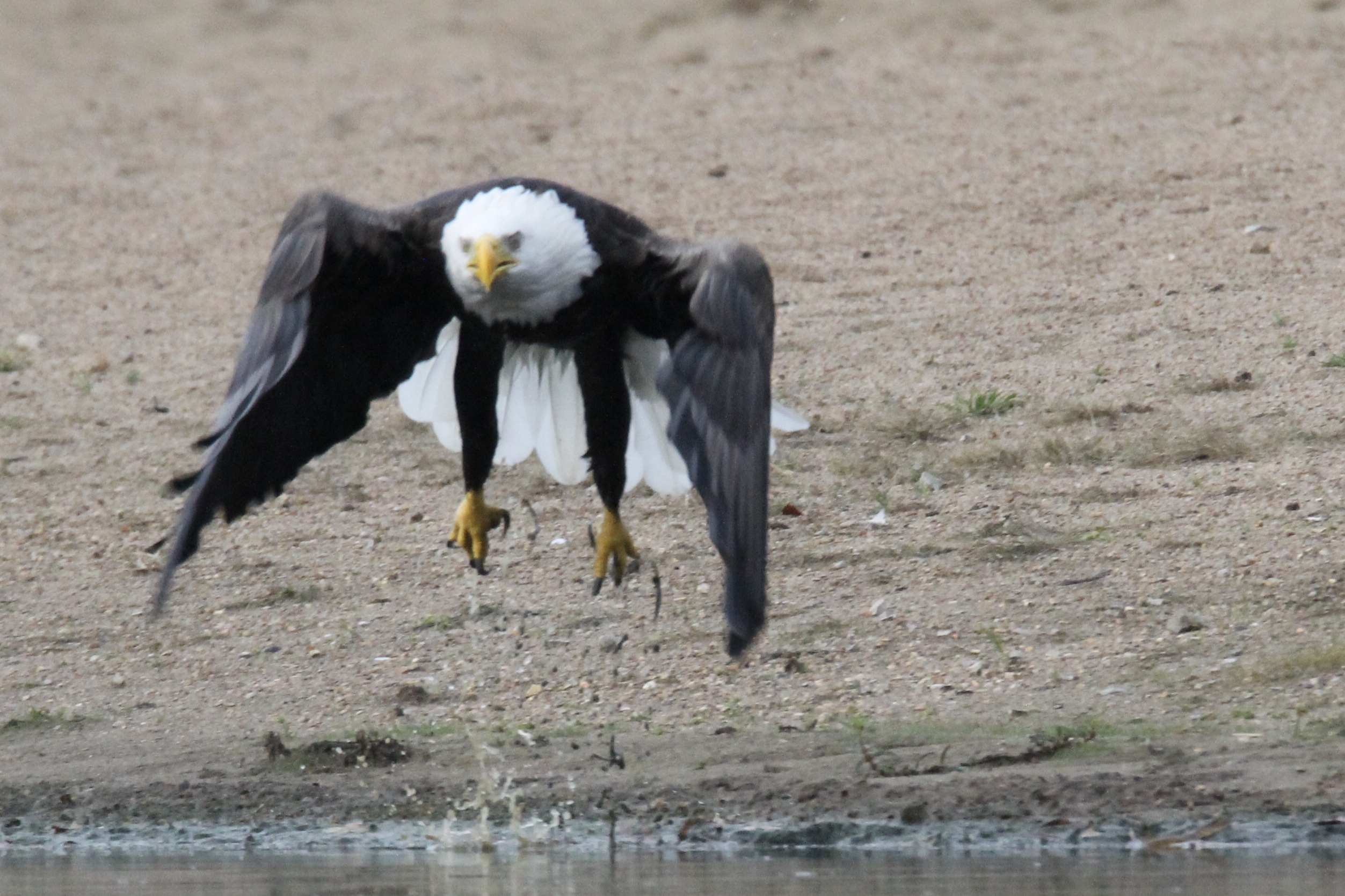 Innsbrook Resort | Wild and Protected: The Soaring Bald Eagle